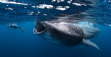 tiburon ballena holbox